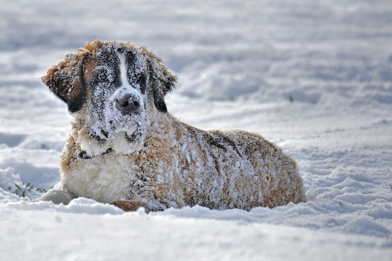 St Bernard dog laying in the snow